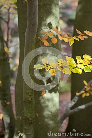 Free Beech Deciduous Forest During Autumn Sunny Day, Leaves Vibrant Colors On Branches, Leaves Detail Royalty Free Stock Images - 113808569