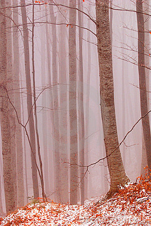 Beech Forest in the Fog
