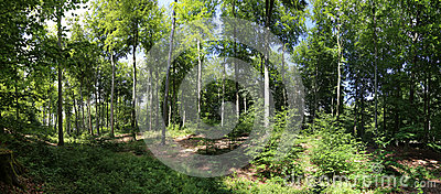 Beech forest panorama