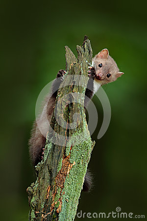 Free Beech Marten, Martes Foina, With Clear Green Background. Stone Marten, Detail Portrait Of Forest Animal. Small Predator Sitting On Stock Images - 75943294
