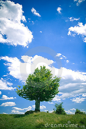 Free Beech Tree Royalty Free Stock Photos - 2774348