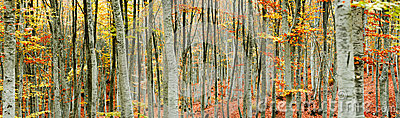 Beech tree forest panorama