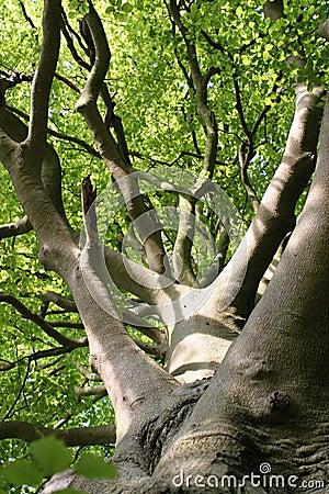 Free Beech Tree Leaves In Sunlight Stock Image - 251871