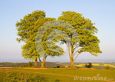 Beech trees on the Quantock Hills in Somerset