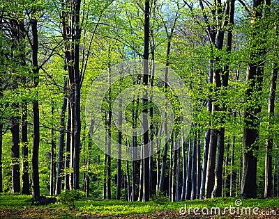 Beech wood spring