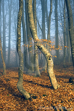Beechen wood in a blue fog
