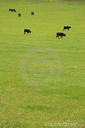 Free Beef Cattle In Pasture Stock Image - 5841311