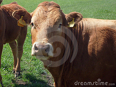 Beef cow portrait