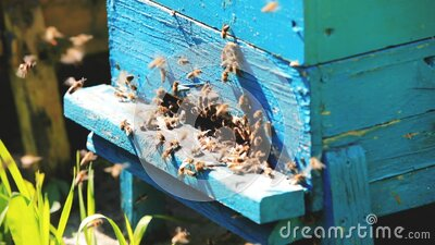 Beehive and bees over honey farm stock video