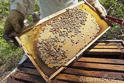 Beekeeper checking the honeycomb