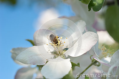 Bees in the apple blossom