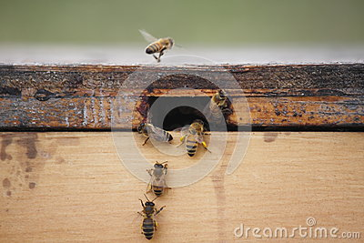 Bees in a Bee Box