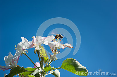 Bees in the  blossom