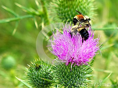 Bees on a Bull Thistle