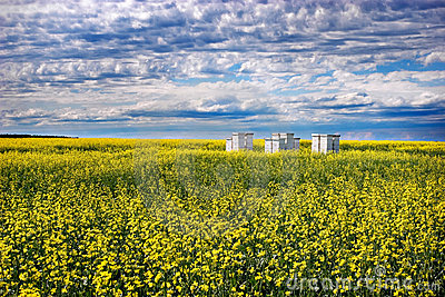 Bees and Canola
