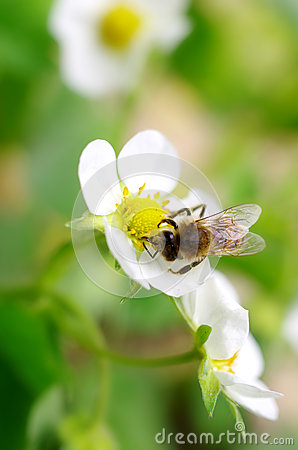 Bees collect nectar from flowers
