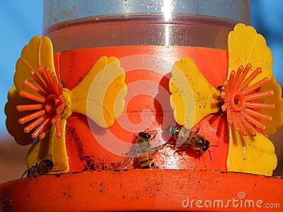 Bees drinking water with sugar