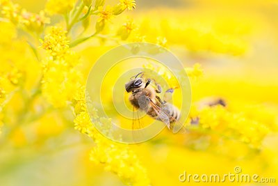 Bees feeding on nectar and pollen
