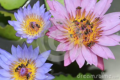 Bees flying in and out waterlily