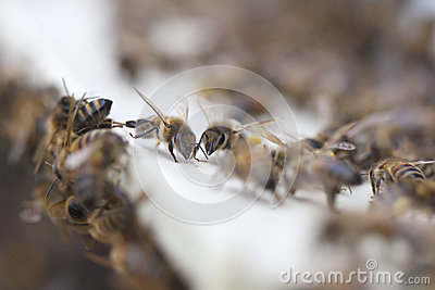 Bees at hive.