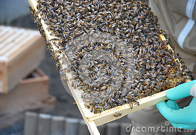Bees from a Hive