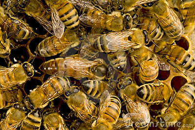 Bees inside beehive with the q