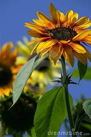 Free Bees On A Sunflower Royalty Free Stock Images - 535429