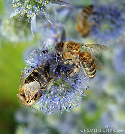 Free Bees On Blue Flowers. Royalty Free Stock Image - 13179086