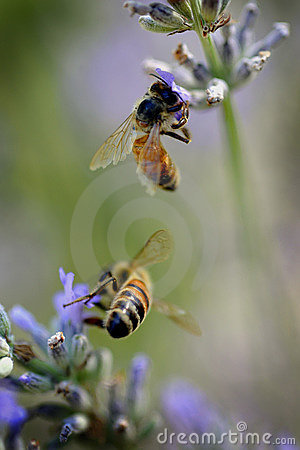 Free Bees On Lavender Royalty Free Stock Image - 13347236