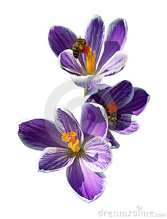 Free Bees On Spring Crocuses. Royalty Free Stock Photography - 13024927