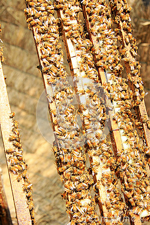 Free Bees On The Hive Royalty Free Stock Image - 32531266
