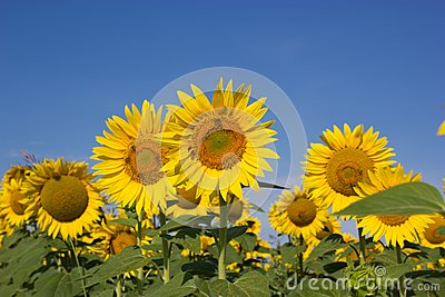 Bees pollinate sunflowers