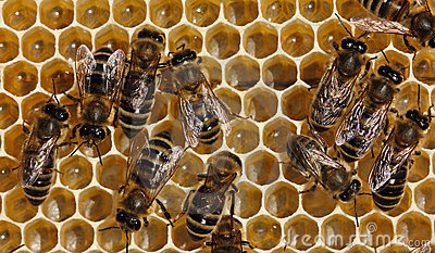 Bees are processed nectar