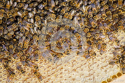Bees take care of the larvae