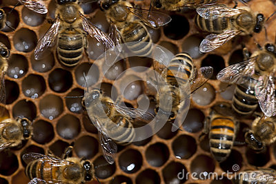 Bees taking care of bee-larva