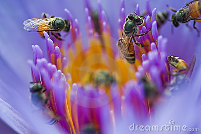 The bees in violet lotus