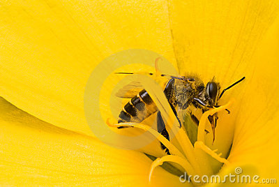 A bees in yellow flower