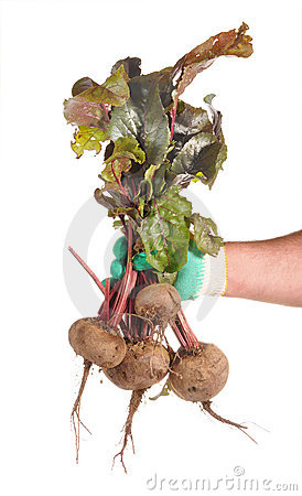 Beet tubers in man s hands
