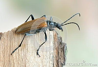 Beetle Anisorus quercus