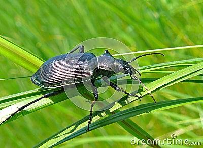 Beetle Carabus 3