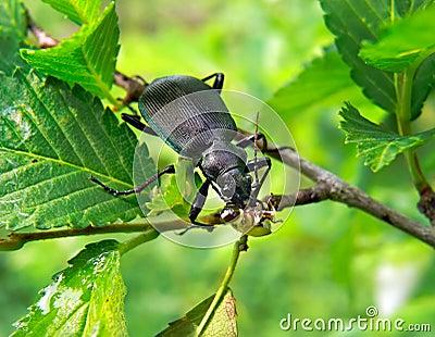 Beetle Carabus  8