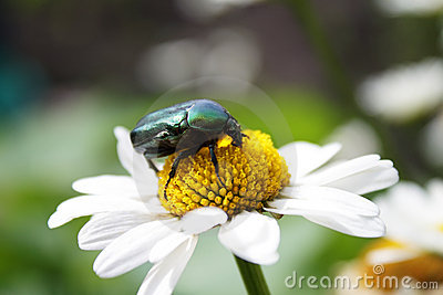 Beetle on daisy