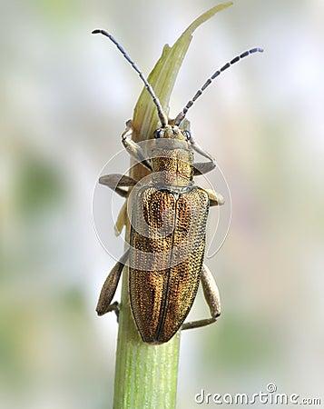 Beetle Donacia bicolor