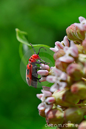 Beetle on flowering plant