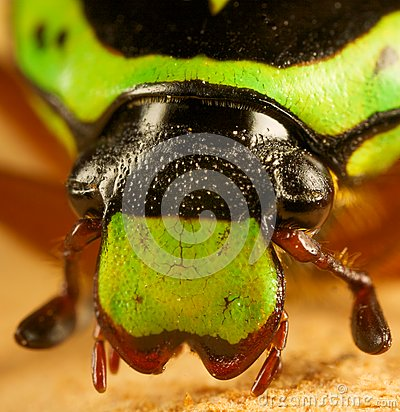 Beetle head