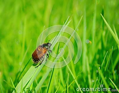 Beetle in lawn