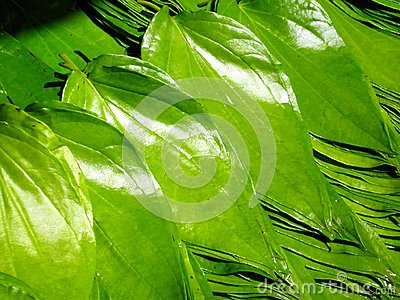 Beetle Nut Leaves