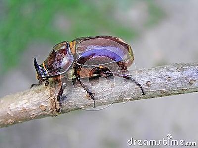 Beetle-rhinoceros (Oryctes nasicornis)