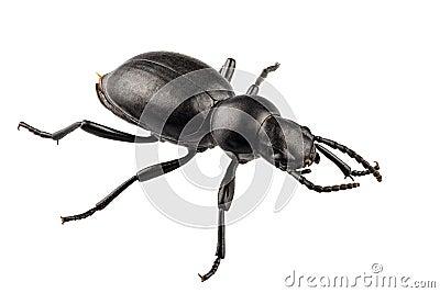 Beetle species Tentyria peiroleri