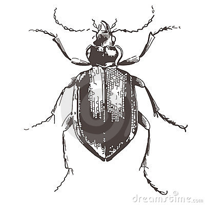 Beetles - vintage engraved illustration
